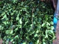 油茶种苗价格,广东韶关油茶苗,油茶亩产量