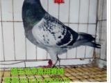 出售成绩鸽 网鸽