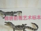 鳄鱼艺术标本