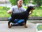 哪里有卖杜宾犬的,杜宾犬多少钱一只