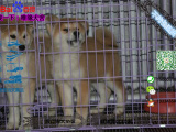 哪一家宠物店卖纯种健康的秋田犬多少钱一只