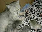 家养纯种英短猫猫出售
