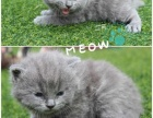 英短蓝猫接受预定