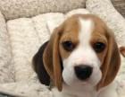 扬州什么地方有狗场卖宠物狗/扬州哪里有卖比格犬