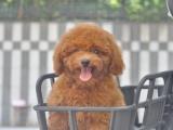桂林 出售泰迪犬,疫苗驱虫已做,可