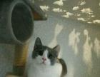 英短蓝白纯种宠物猫纯种活体英短银渐层幼猫纯种英短蓝