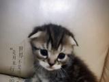 自家养的折耳猫 美短找妈妈