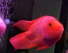 转让自家养鹦鹉鱼红眼招财