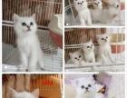 出售自养银渐层英短猫公母都有