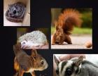 金花松鼠魔王松鼠幼崽雪地松鼠黄山红腹迷你刺猬龙猫飞