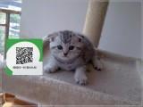 昆明在哪里卖健康纯种宠物猫 昆明哪里出售折耳猫