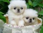 犬舍出售纯种京巴宝宝专业品质,品相极佳
