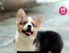 柯基幼犬、双色三色、白通脖小短腿柯基
