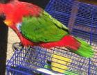 广西玉林出售各种中大型鹦鹉有喜欢的进来看看