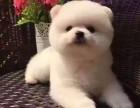 广州哪里有卖博美犬 纯种博美犬俊介犬