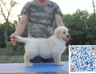 高品质纯种金毛幼犬终身保障可来场选质保三年