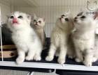 伢仔猫屋 家庭式小型猫舍 精品渐层 英短 美短