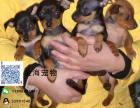 出售纯种小鹿犬疫苗驱虫已做齐全包健康签协议