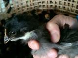 自家养兔子荷兰猪仓鼠小鸡刺猬松鼠 已打疫苗包活到货