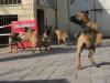 哪里有卖马犬的 马犬