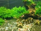 红白水晶虾成母