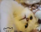英短/美短/银渐层/虎斑/加白/高品质猫咪出售