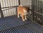 福州什么地方有狗场哪里有卖宠物狗/福州哪里有卖柴犬