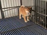 天津什么地方有狗场哪里有卖宠物狗/天津哪里有卖柴犬