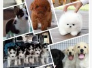 買狗送用品 直銷各種名犬幼崽 包純種包健康有售后