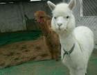 神兽羊驼出售鸵鸟苗孔雀苗鳄鱼苗的价格骆驼矮马哪里有