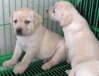 上海哪里有免费赠送宠物狗,自家拉布拉多幼犬免费找新家