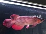 印尼超血红龙,超级大鳍尾