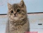 猫舍售加菲猫英短蓝白蓝猫渐层美短起司美短加白 布偶