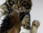 上海CFA血统证缅因猫出售,上海缅因猫,上海缅因猫价格