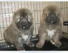 出售纯种高加索幼犬,血统纯正,保健康,养殖场繁殖