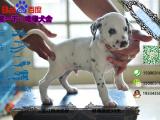纯种健康的斑点狗多少钱一只在哪能买到