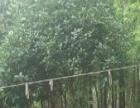 大型桂花树便宜出了