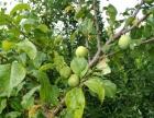 8月应季水果农户种植绿色无化肥桃李子2000斤