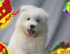 纯种雪橇犬萨摩耶幼犬家养宠物活体出售 可签协议