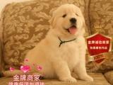 精品繁殖金毛幼犬 可爱温顺乖巧包健康包纯种可自提