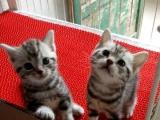 自家繁育美短银虎斑小猫