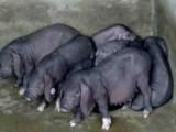 纯种太湖母猪及三元仔猪大量出售