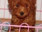 重庆本地犬舍直销纯种 泰迪熊 包健康签协议送货上门