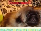 纯种京巴犬 保证纯种健康 终身质保 免费送货上门
