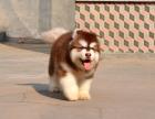 大型犬舍繁殖高品质阿拉斯加健康有保证欢迎上门