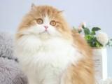 长毛渐层波斯银点矮脚纯白蓝眼高地猫咪