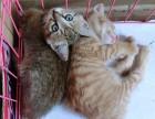 北京市哪有家养网红小橘猫出售