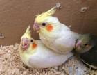 出售人工繁殖玄风鹦鹉 和尚鹦鹉 金太阳鹦鹉 小太阳鹦鹉