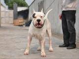 三个月的杜高犬低价出售 杜高犬价格