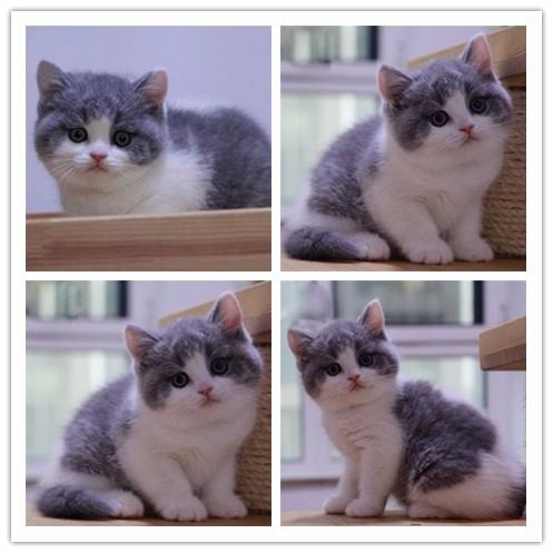出售英短/加菲/布偶 /英短/金吉拉/蓝猫/折耳/美短包纯种